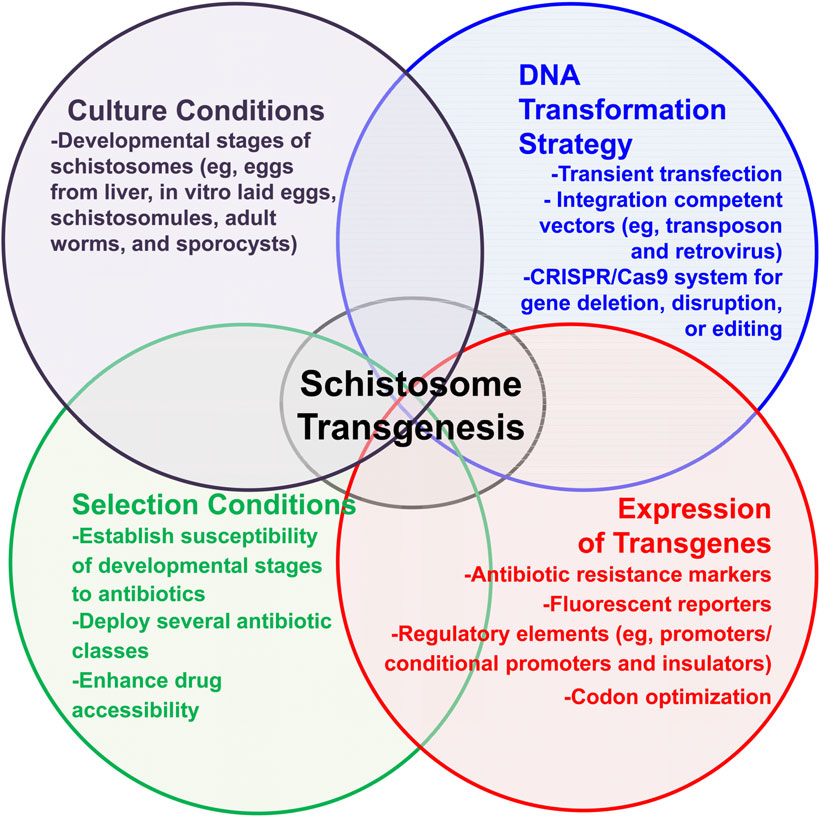 Schistosomiasis the hsieh lab the gw school of medicine methods to facilitate transgenesis for schistosoma haematobium general schema to establish transgenesis for schistosomes in which 1 culture conditions ccuart Image collections