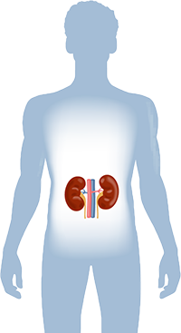 About kidney disease the ron joy paul kidney center the kidneys are fist sized organs located in the middle of your back below the rib cage and have a number of vital responsibilities in keeping your body ccuart Choice Image