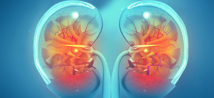 kidney with light blue outline of membrane